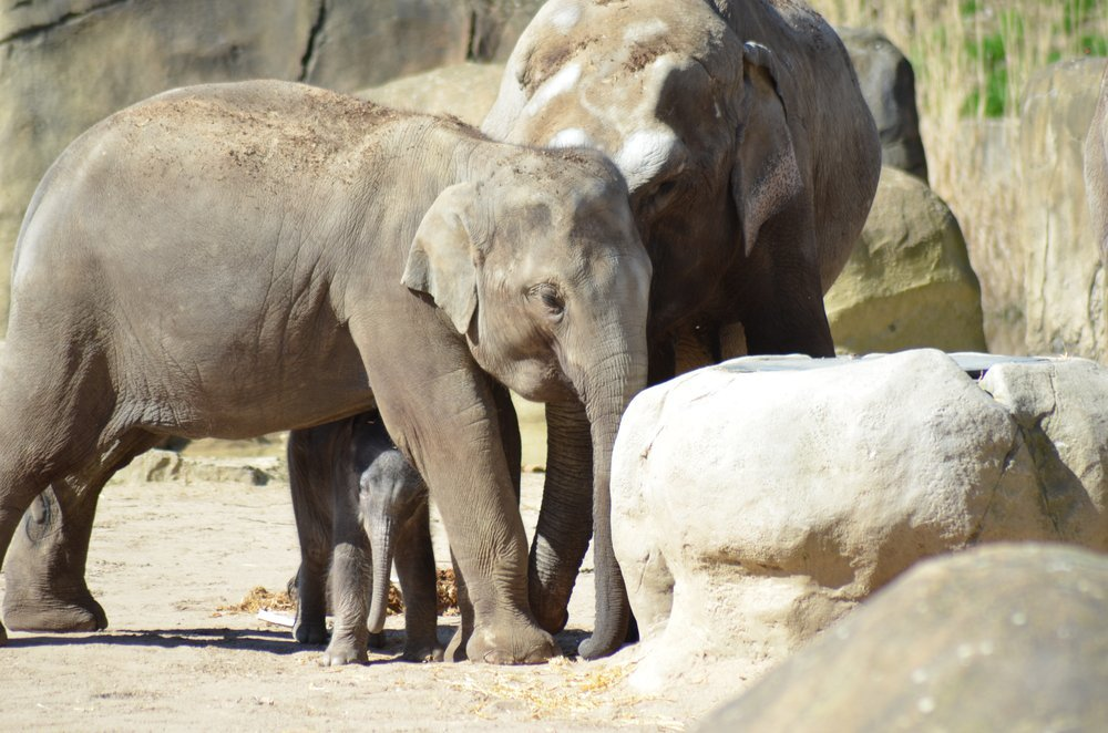Newborn Elephant baby in Cologne Zoo