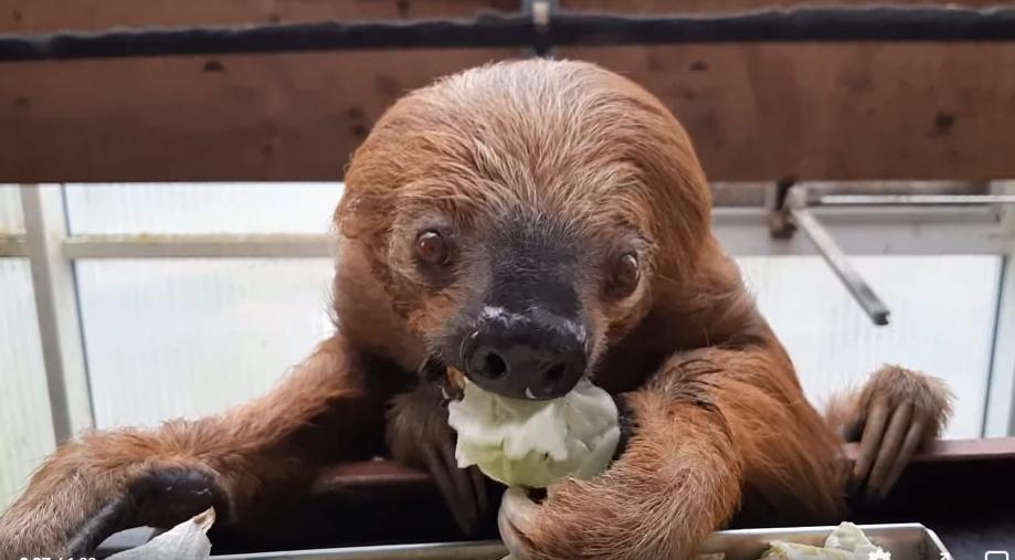 samyj-staryj-lenivec / Фото: скриншот с видео зоопарка в Кресфельде