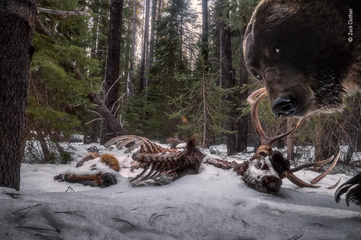Zack Clothier, «Grizzly leftovers». Фото: nhm.ac.uk