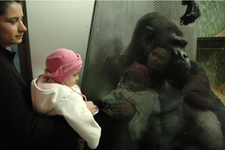 Самая старая горилла в Европе отметила юбилей в Берлинском зоопарке фото 1