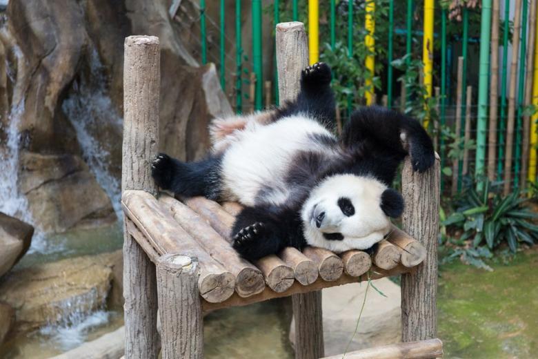 Дипломатические «милости»: Китай подарил Берлинскому зоопарку двух панд фото 1
