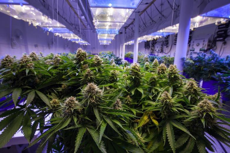 Власти США пересмотрели отношение к легальной марихуане фото 1
