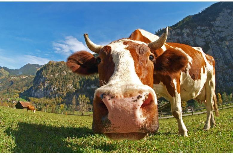 """Гейтс пожертвовал 40 млн долларов на выведение """"идеальной коровы"""" фото 1"""