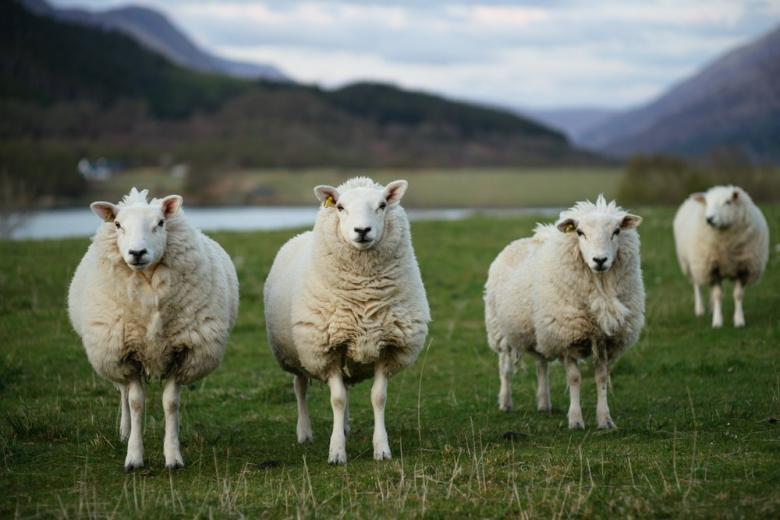 Ученые в США вырастили зародыш овцы с человеческими клетками фото 1