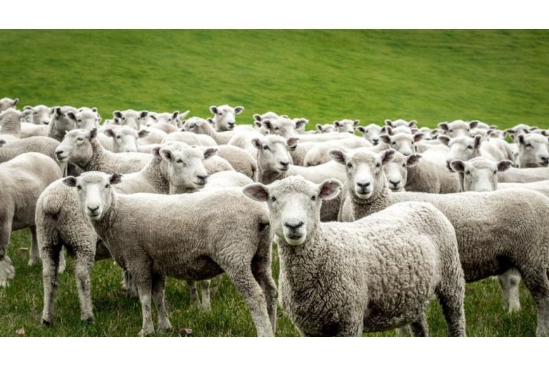По Берлину разгуливает отара овец фото 1