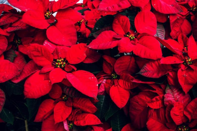 Ядовитая красота: эксперты советуют быть осторожными с рождественским декором фото 1