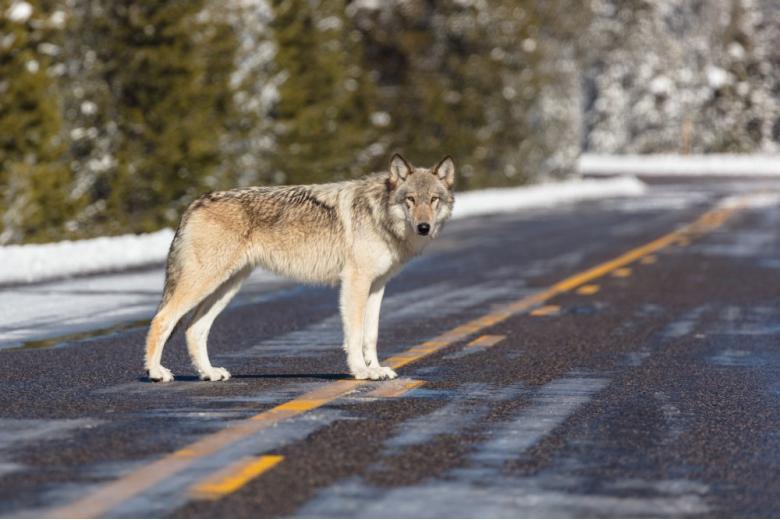 Волк на дороге