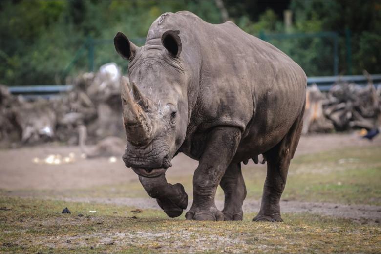 Rhinoceros in Serengeti Park in Hodenhagen, Germany