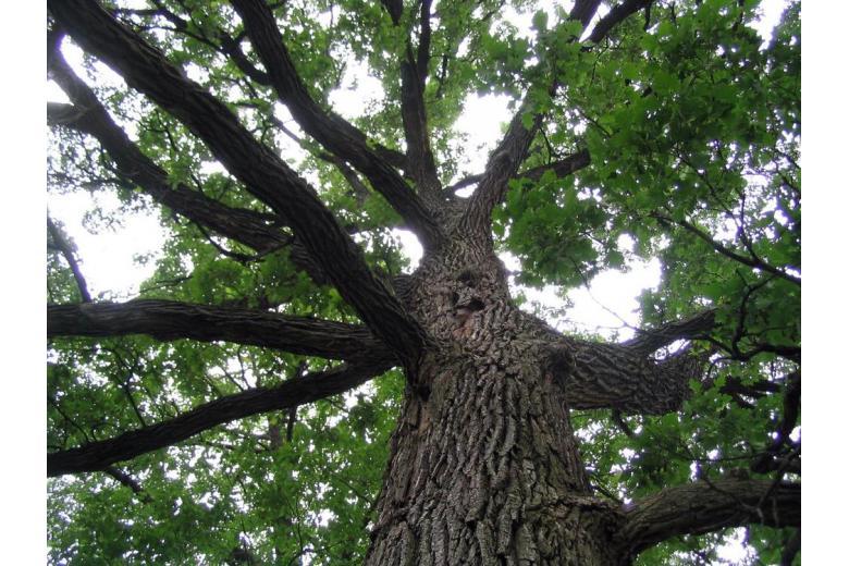Большое высокое дерево