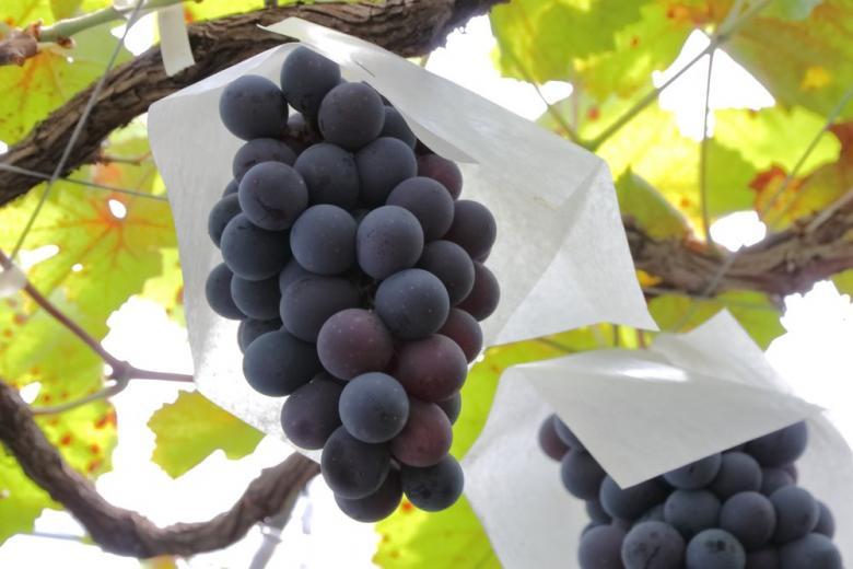 Виноградники Германии фото 1