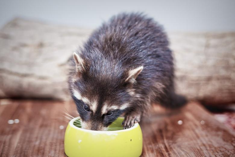 racoon drinking water