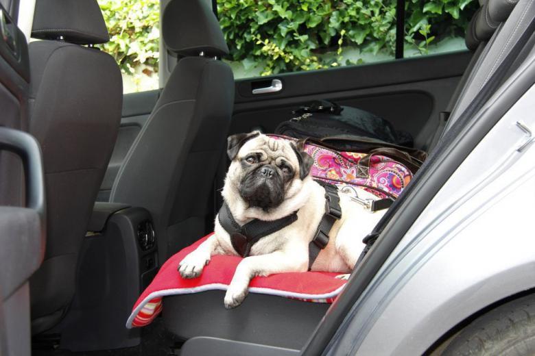 pug dog in a car