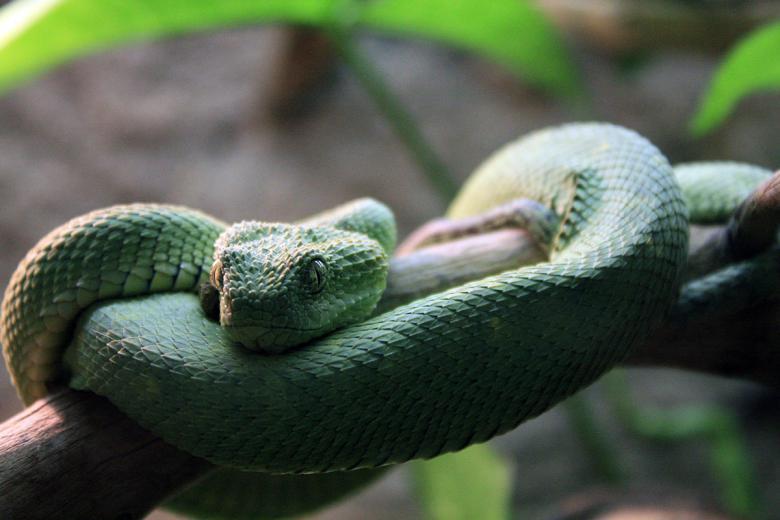 Древесная змея, также известная как древесная гадюка. Фото: wikipedia.org