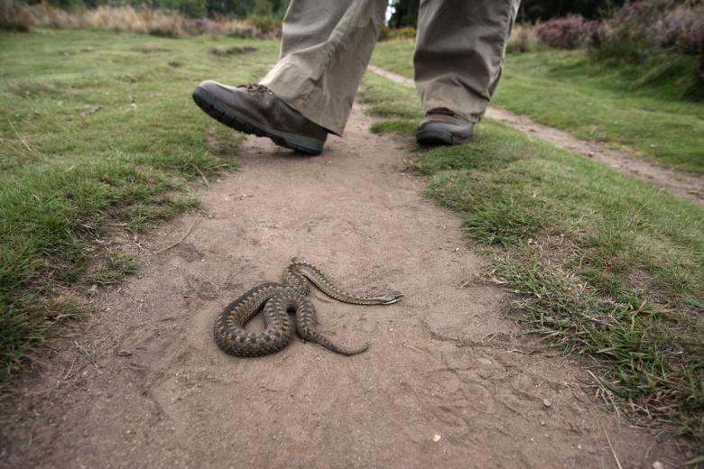 Ядовитые змеи Германии фото 1