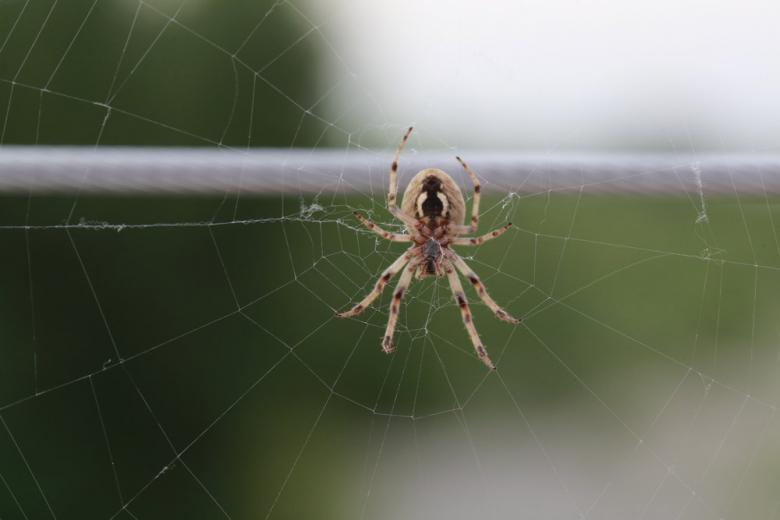 Ядовитый паук фото