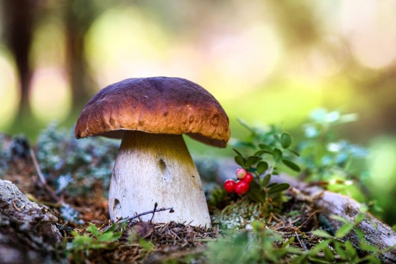 Белый гриб в лесу фото