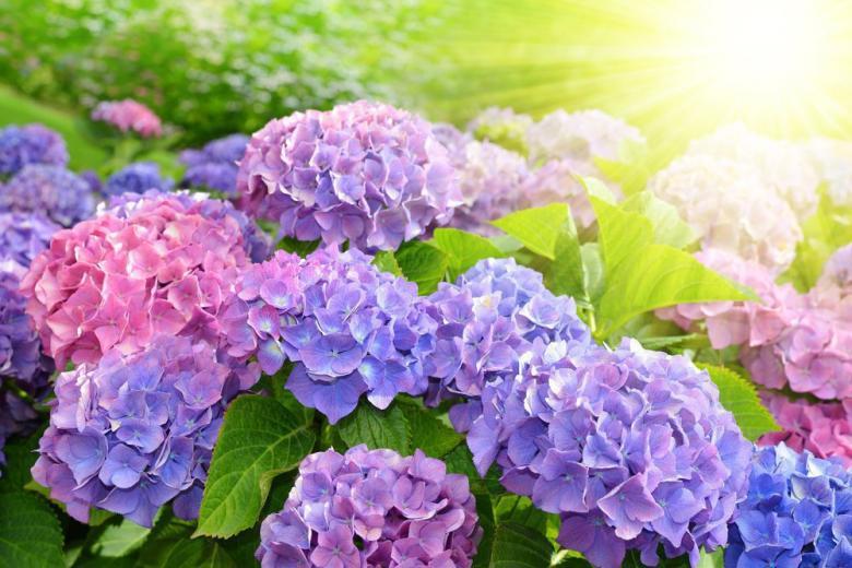 Фиолетовая Гортензия фото
