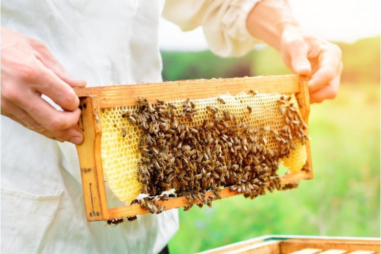Пчеловод осматривает сотовую раму на пасеке фото