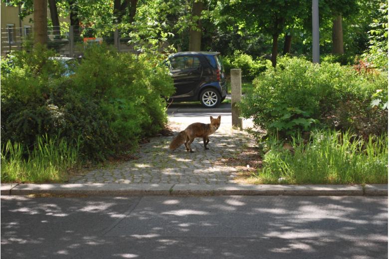 лиса в городе фото