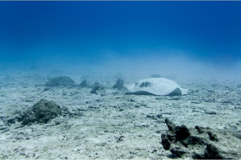 морской скат лежит на песчаном дне фото