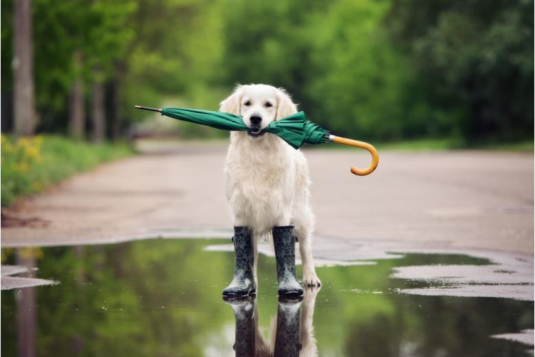 прогулка с собакой после дождя фото