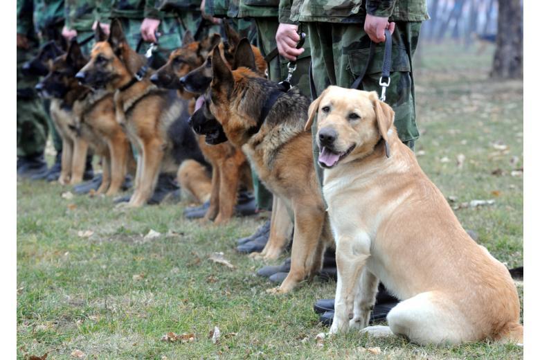 служебные собаки фото