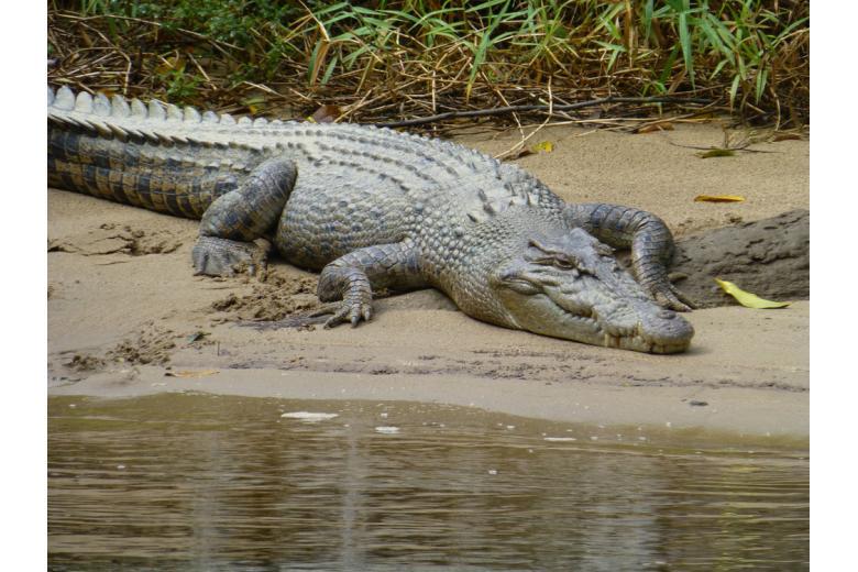крокодил на берегу реки фото