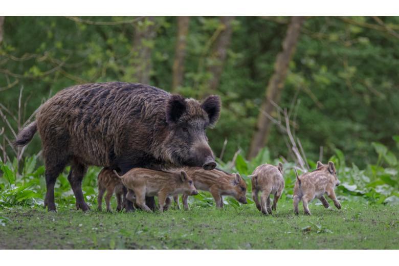 самка дикого кабана с детёнышами фото