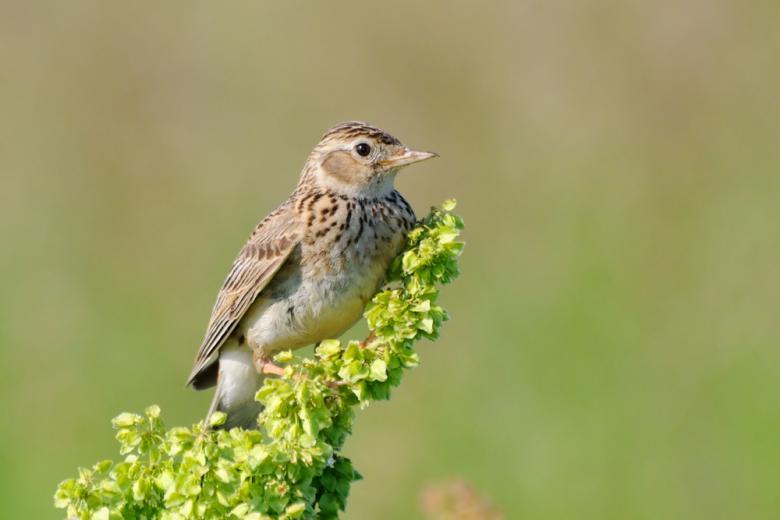 Полевые птицы исчезают из-за плотности аграрного бизнеса фото