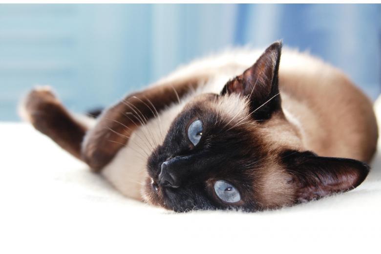Сиамская кошка лежит на одеяле фото