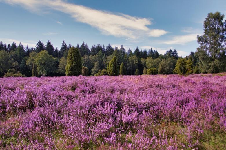 цветение вереска на Люнебургской пустоши фото