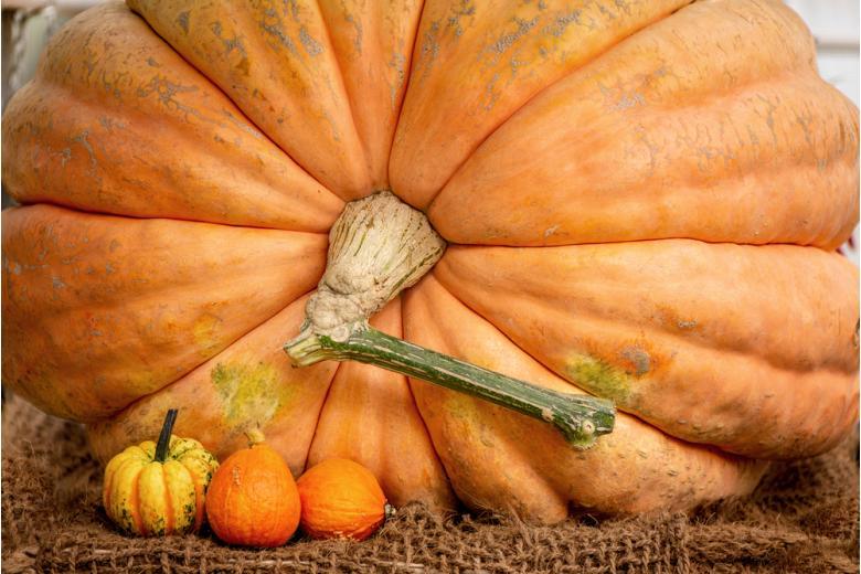 огромная оранжевая тыква и три маленькие тыквы рядом фото