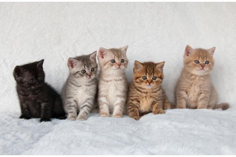 пять британских короткошерстных котят фото