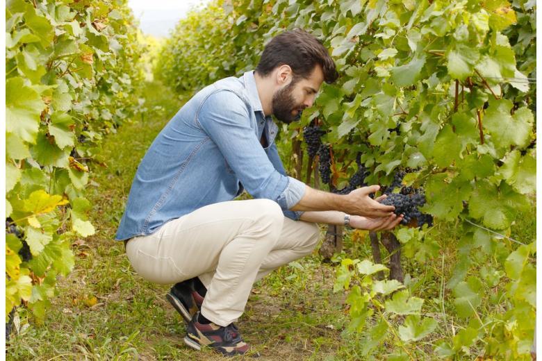 винодел держит в руках спелые гроздья винограда фото