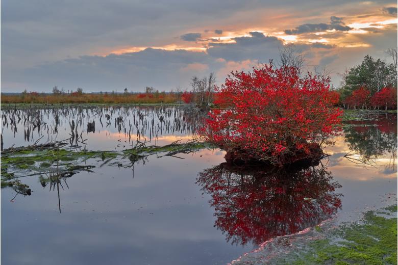 яркий красный куст на болотах в Нижней Саксонии фото