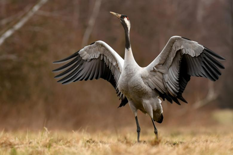 журавль стоит на лапах и раскрыл крылья фото