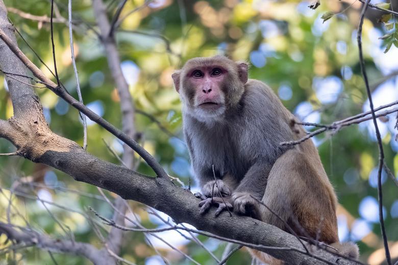 Побег обезьян из зоопарка Фото: Автор: AbhishekMittal / shutterstock.com
