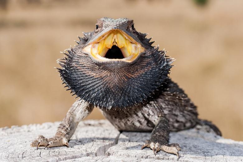 Сбежавший дракон Фото: Автор: Ken Griffiths / shutterstock.com