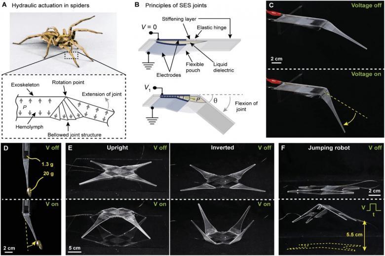 Принципы паукоподобных электрогидравлических соединений с мягким приводом (Spider-inspired Electrohydraulic Soft-actuated joints — SES). Фото: habr.com