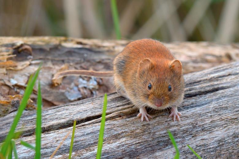 hantavirus-v-germanii / Фото: Robert Adami / shutterstock.com