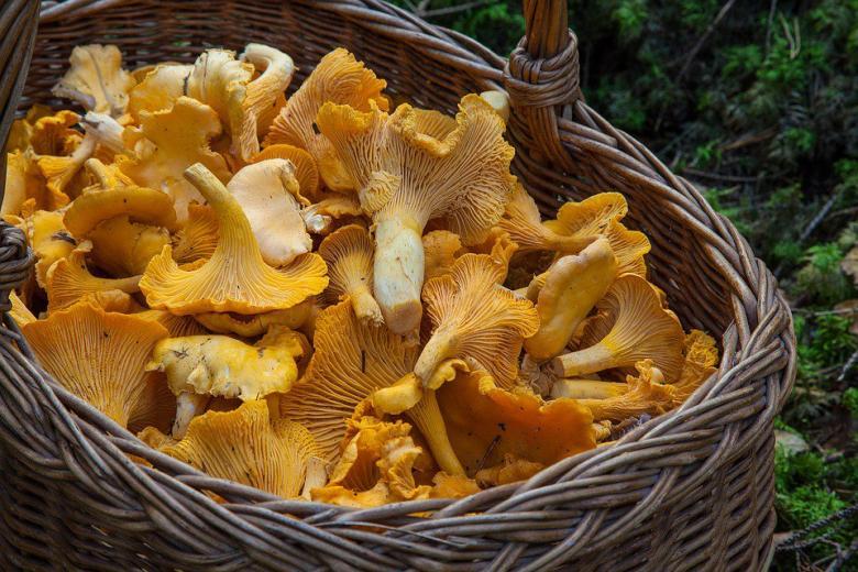 грибы лисички в корзинке фото