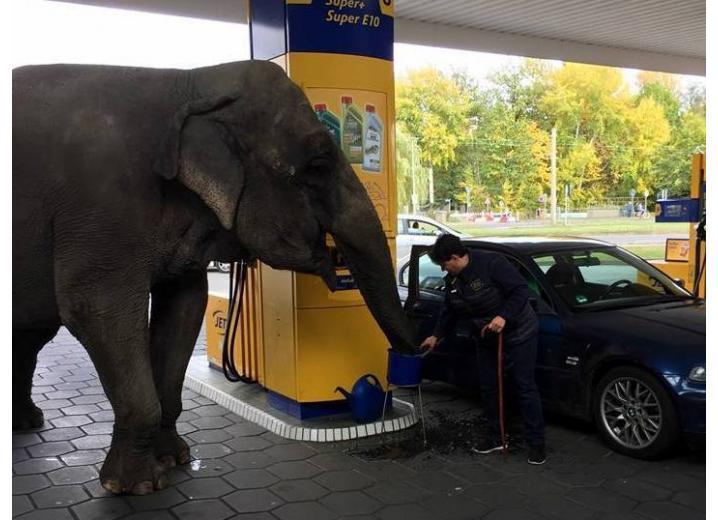 Круче «ламборджини»: немец на автозаправке заправил слона фото 1