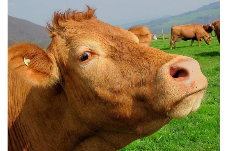 Немецкая справедливость: корову судили по обвинению в убийстве фото 1